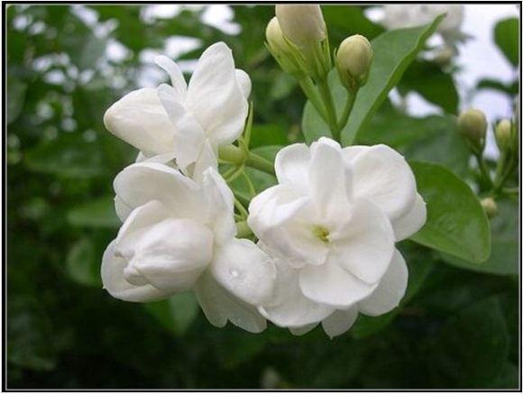 hoa hải đường đẹp nhất 5