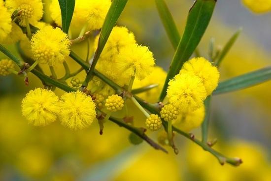 hoa mimosa đẹp và ý nghĩa nhất 1