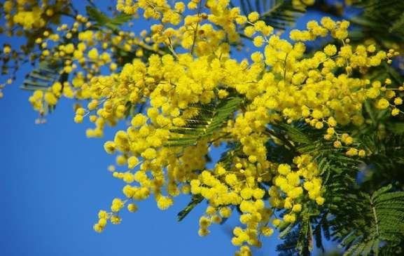 hoa mimosa đẹp và ý nghĩa nhất 2