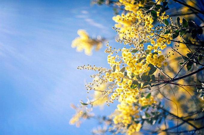 hoa mimosa đẹp và ý nghĩa nhất 3