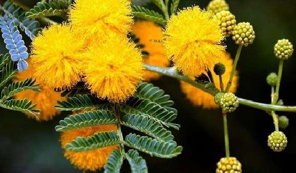 hoa mimosa đẹp và ý nghĩa nhất 4