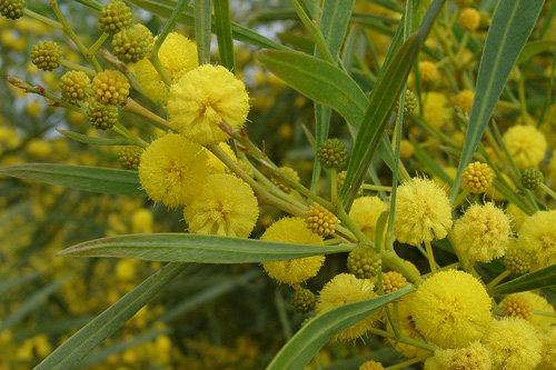 hoa mimosa đẹp và ý nghĩa nhất 8