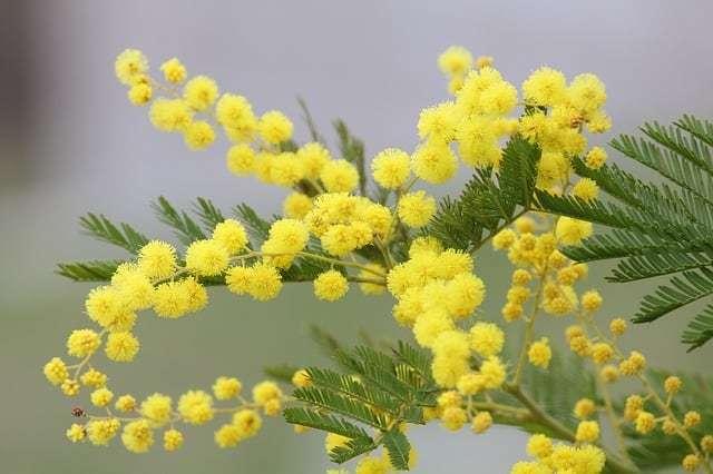 hoa mimosa đẹp và ý nghĩa nhất 9