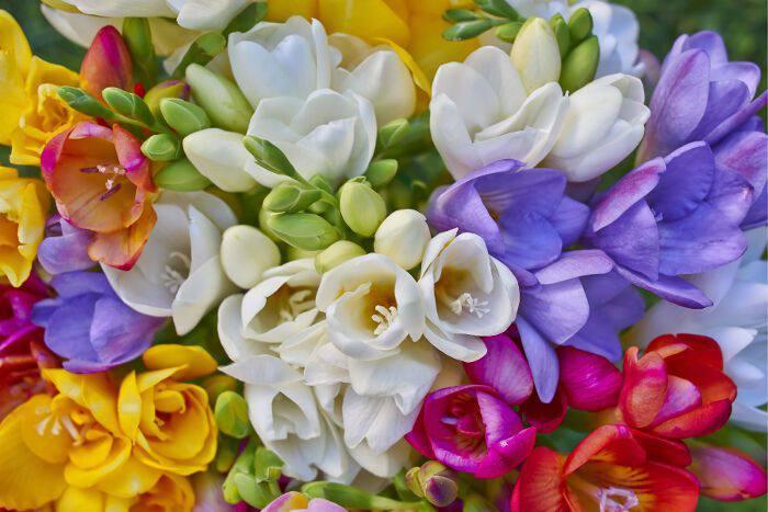 cách trồng hoa lan nam phi