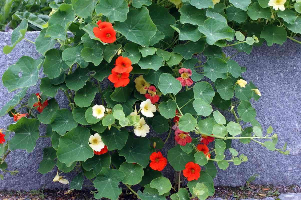 cách trồng hoa sen cạn