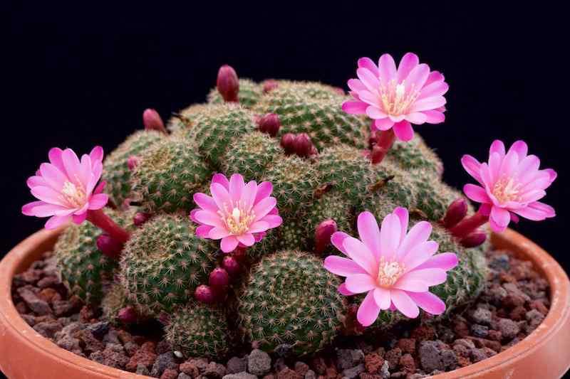 cách trồng và chăm sóc hoa xương rồng
