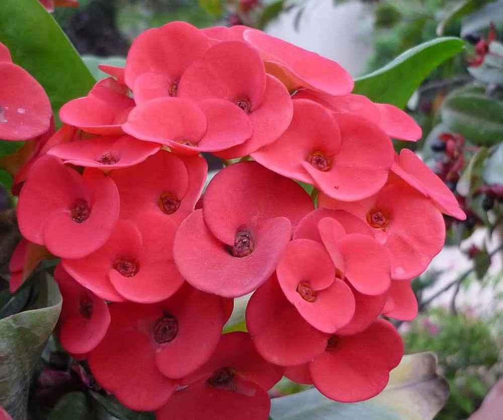 cây hoa xương rồng bát tiên