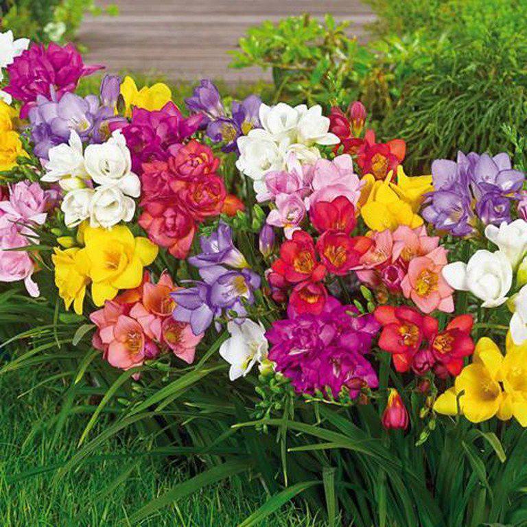 đặc điểm của hoa lan nam phi