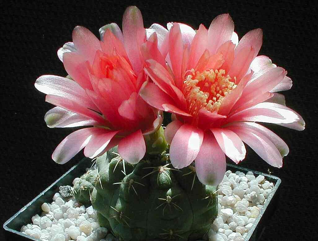 hình ảnh hoa xương rồng đẹp 1