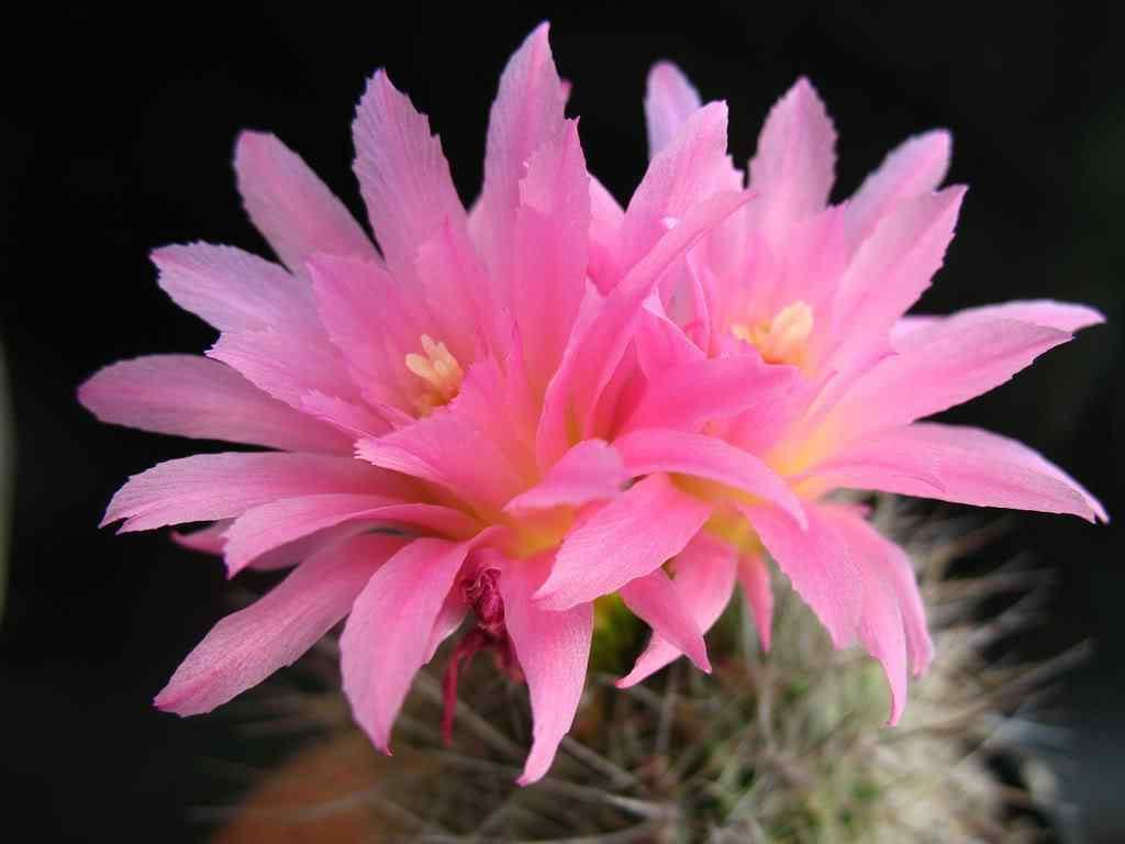 hình ảnh hoa xương rồng đẹp 12