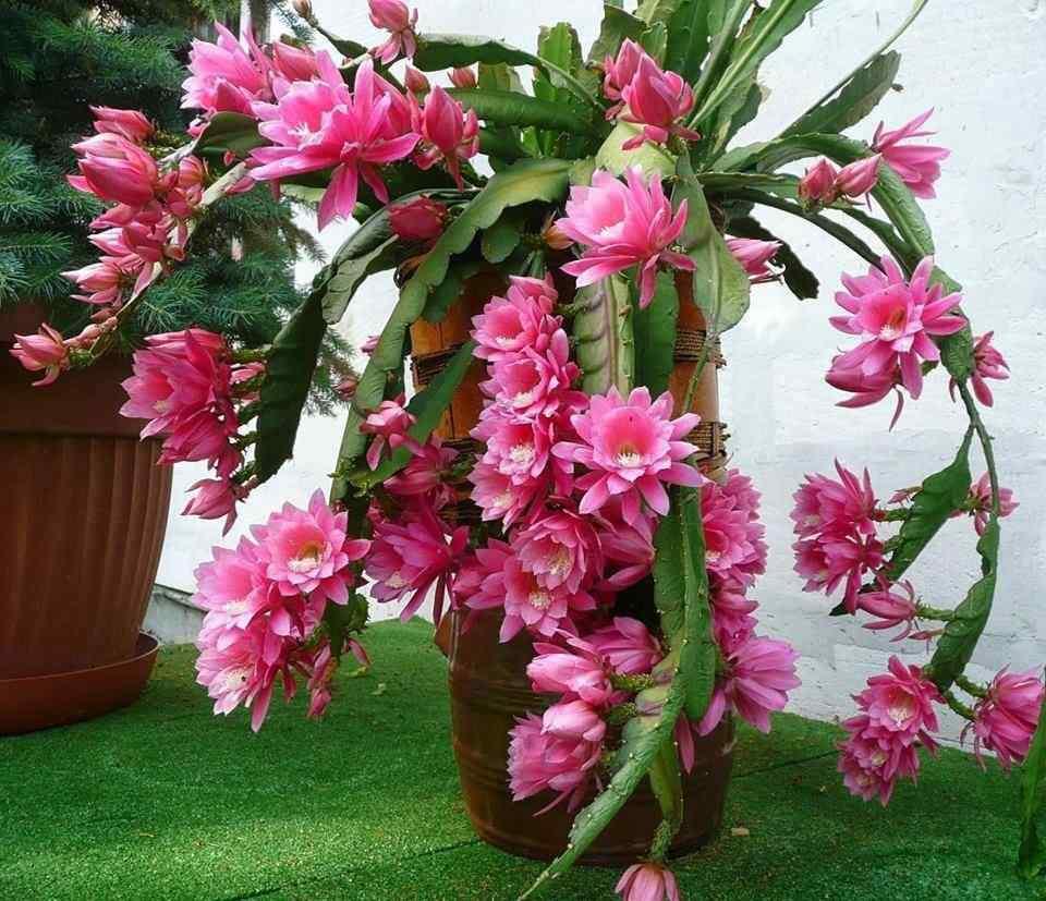 hình ảnh hoa xương rồng đẹp 13