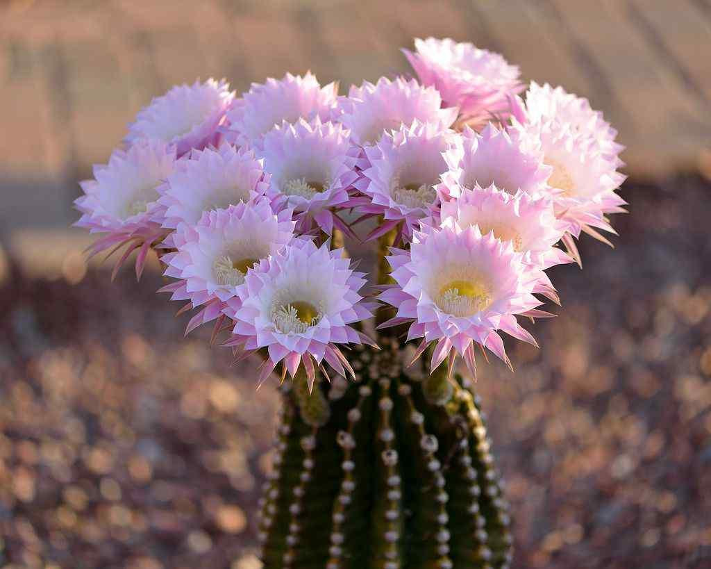 hình ảnh hoa xương rồng đẹp 14