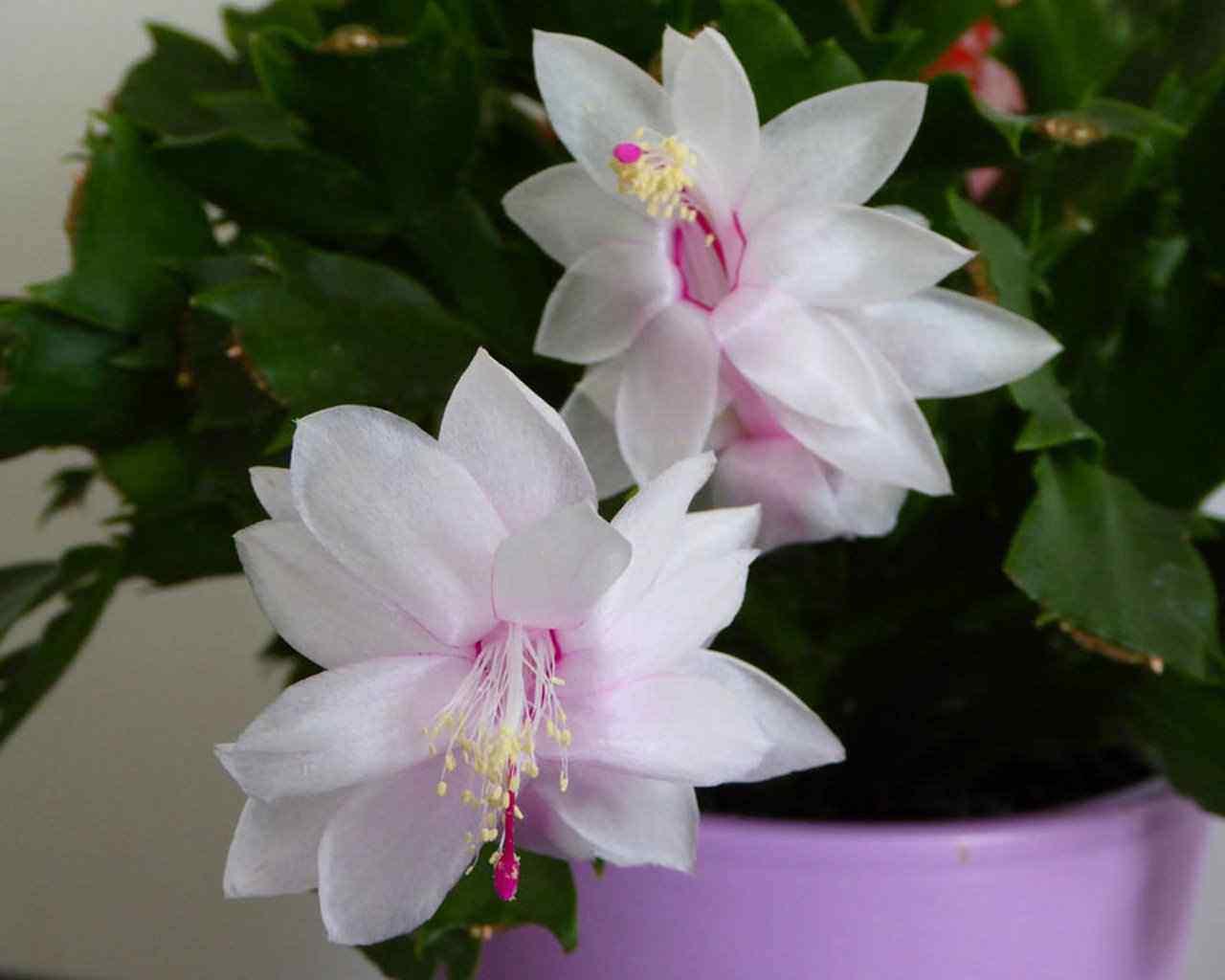 hình ảnh hoa xương rồng đẹp 3
