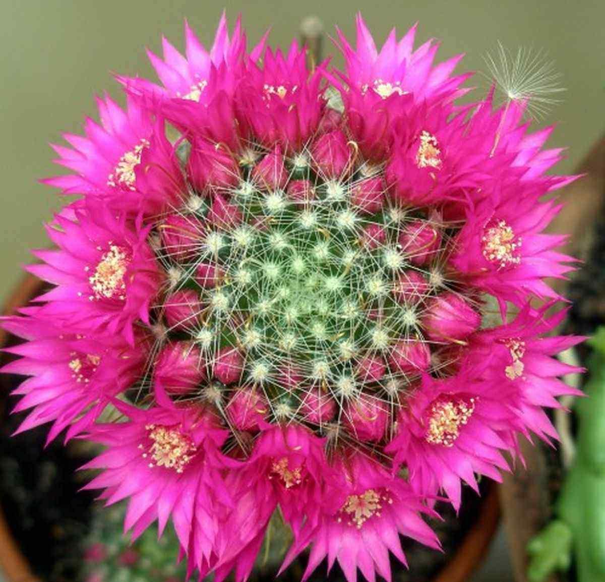 hình ảnh hoa xương rồng đẹp 4