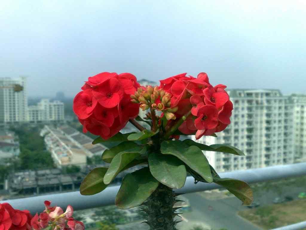 hình ảnh hoa xương rồng đẹp 7