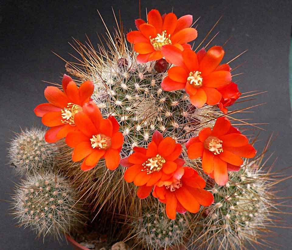 hình ảnh hoa xương rồng đẹp 8