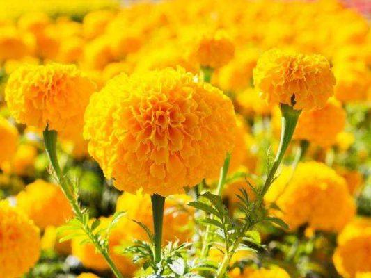 hoa cúc vạn thọ 6