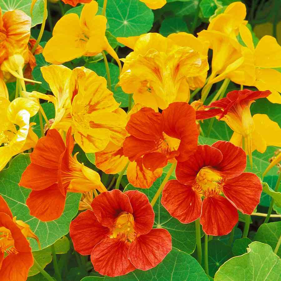 hoa sen cạn đẹp nhất 1