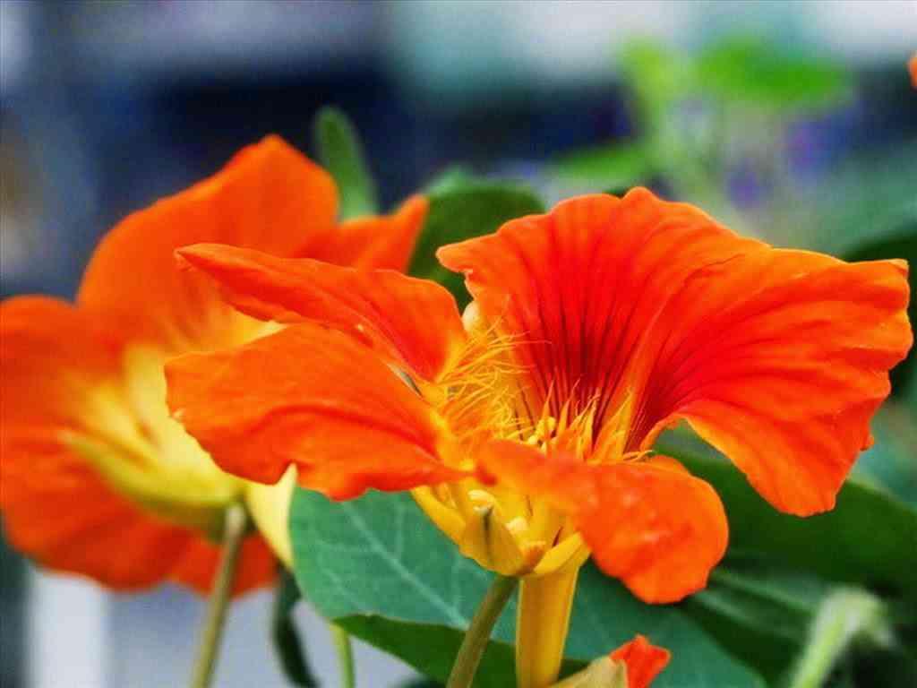 hoa sen cạn đẹp nhất 4