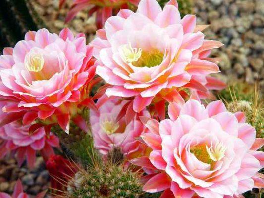 Hoa Xương Rồng Đẹp 6