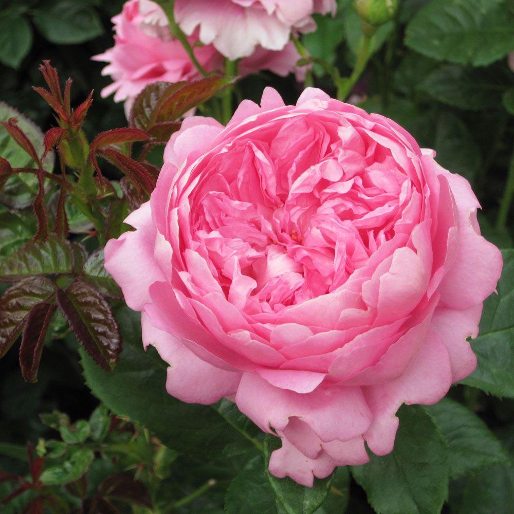 Hoa hồng Pierre de Ronsard