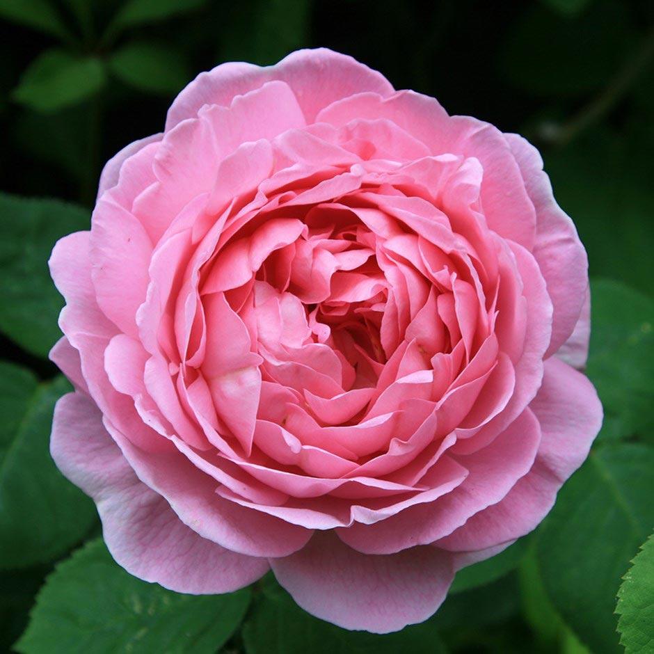 Hoa hồng leo Constance Spry
