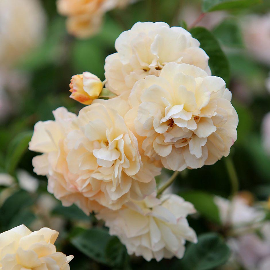 Rosa Buff Beauty