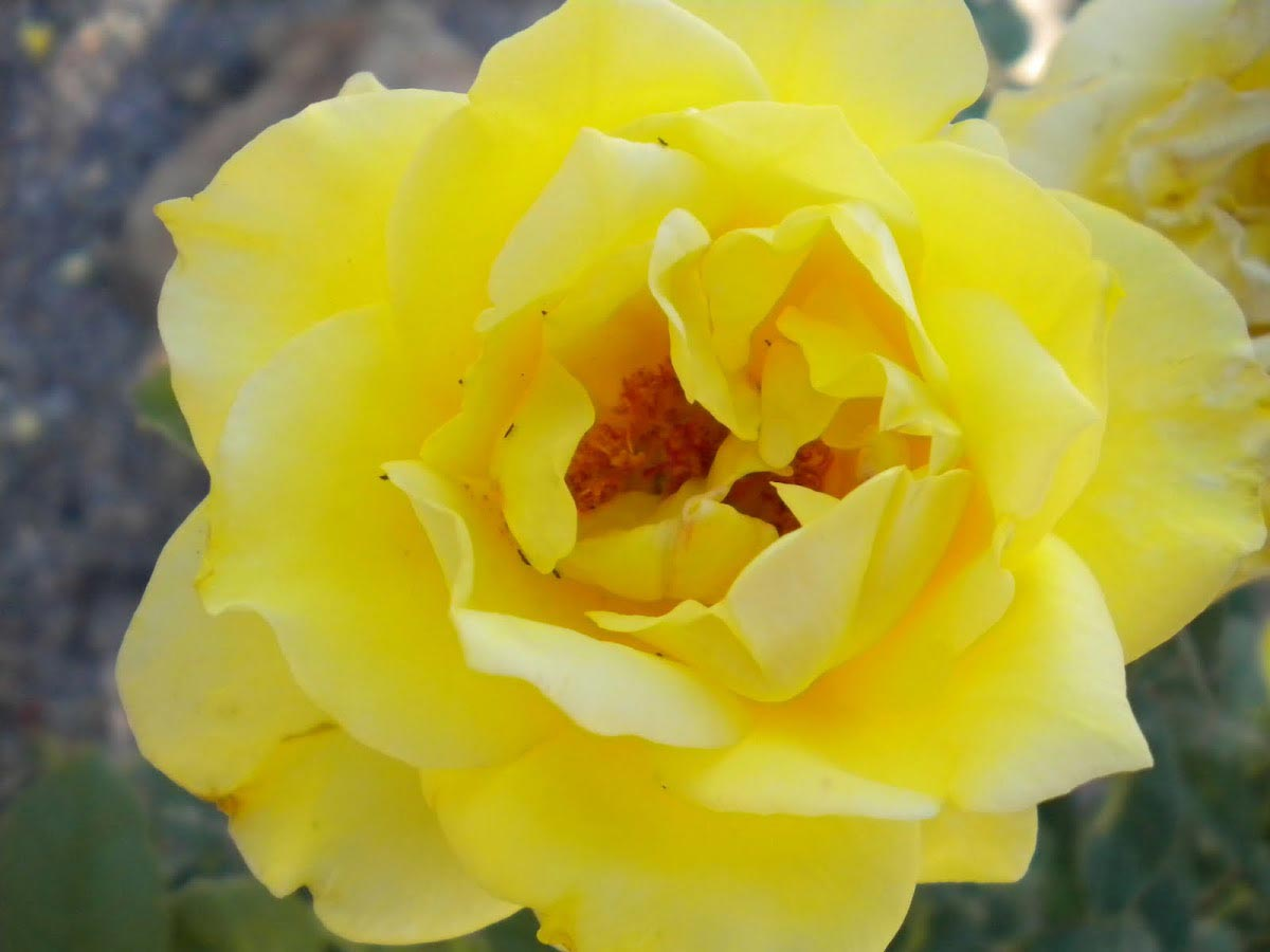 Rosa Sunsprite