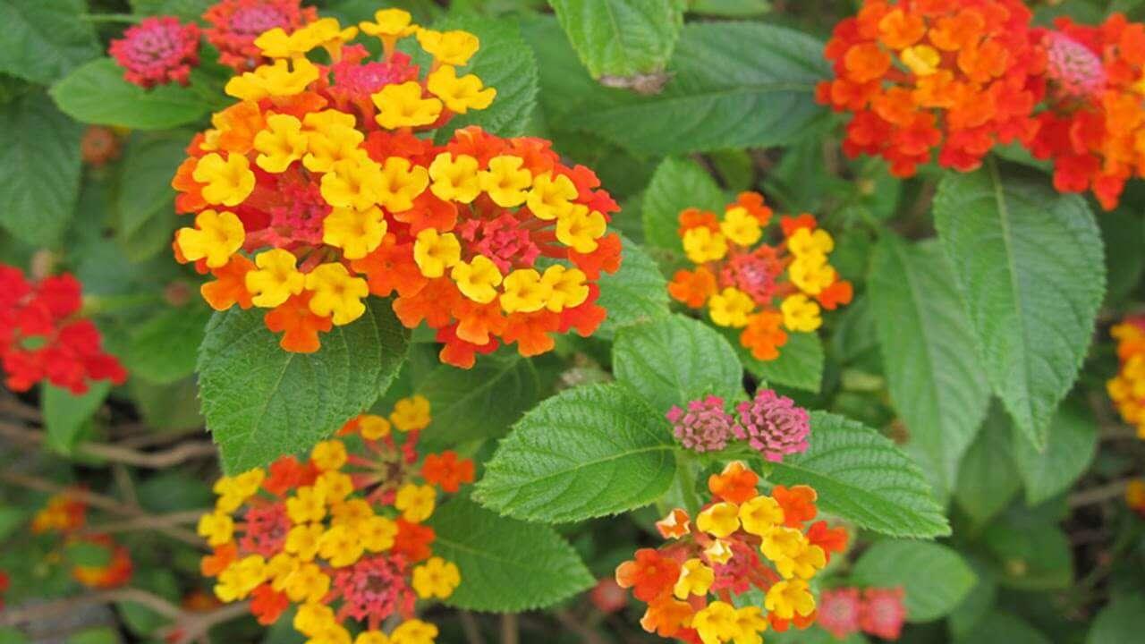 cách chăm sóc cây hoa ngũ sắc