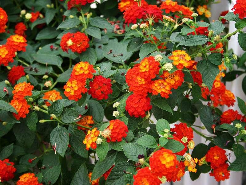 cách nhân giống cây hoa ngũ sắc