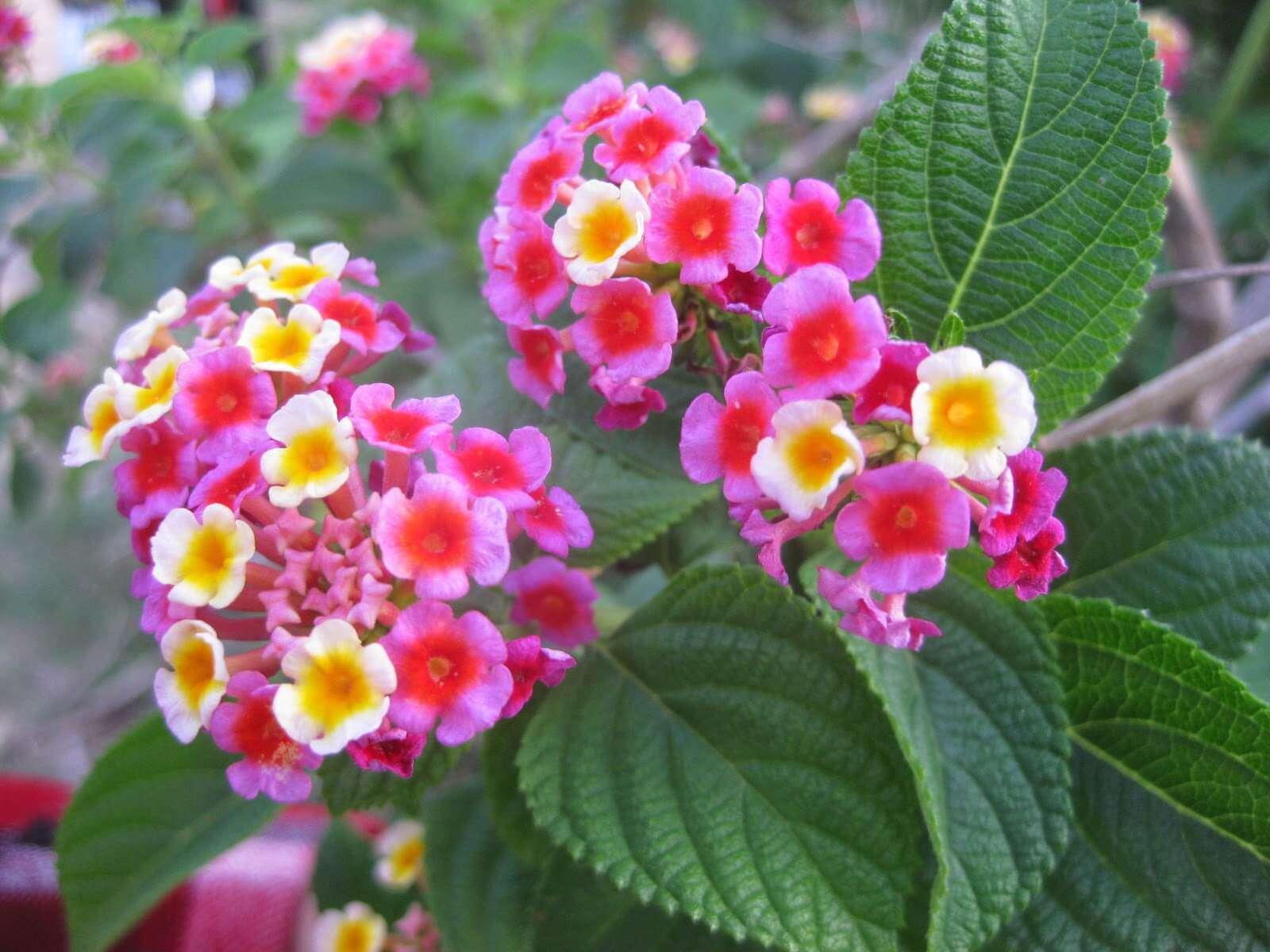 đặc điểm cây hoa ngũ sắc