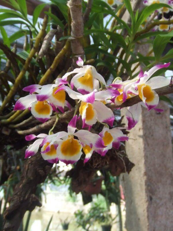 Hoa Lan Hoàng Thảo Ngọc Thạch