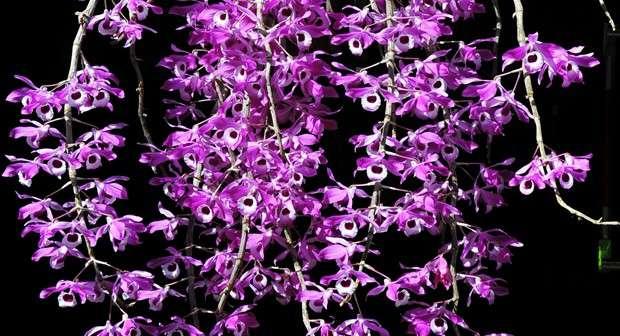 hoa lan hoàng thảo kèn