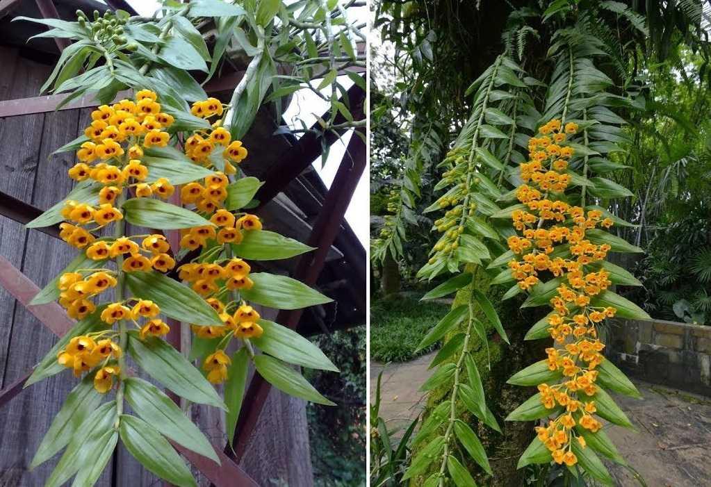 Cách trồng hoa phong lan trầm vàng