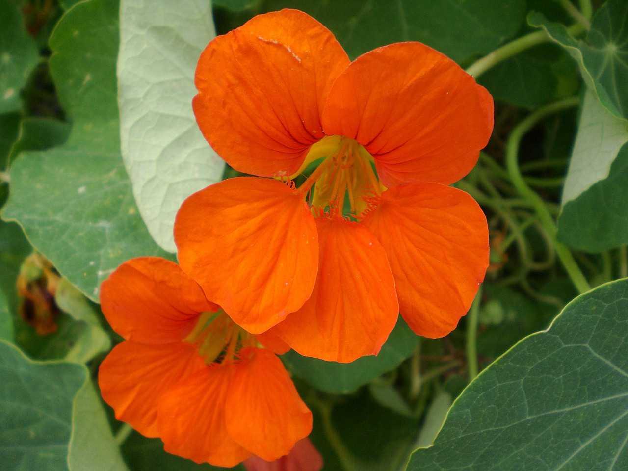 hoa sen cạn thể hiện sự manh mẽ