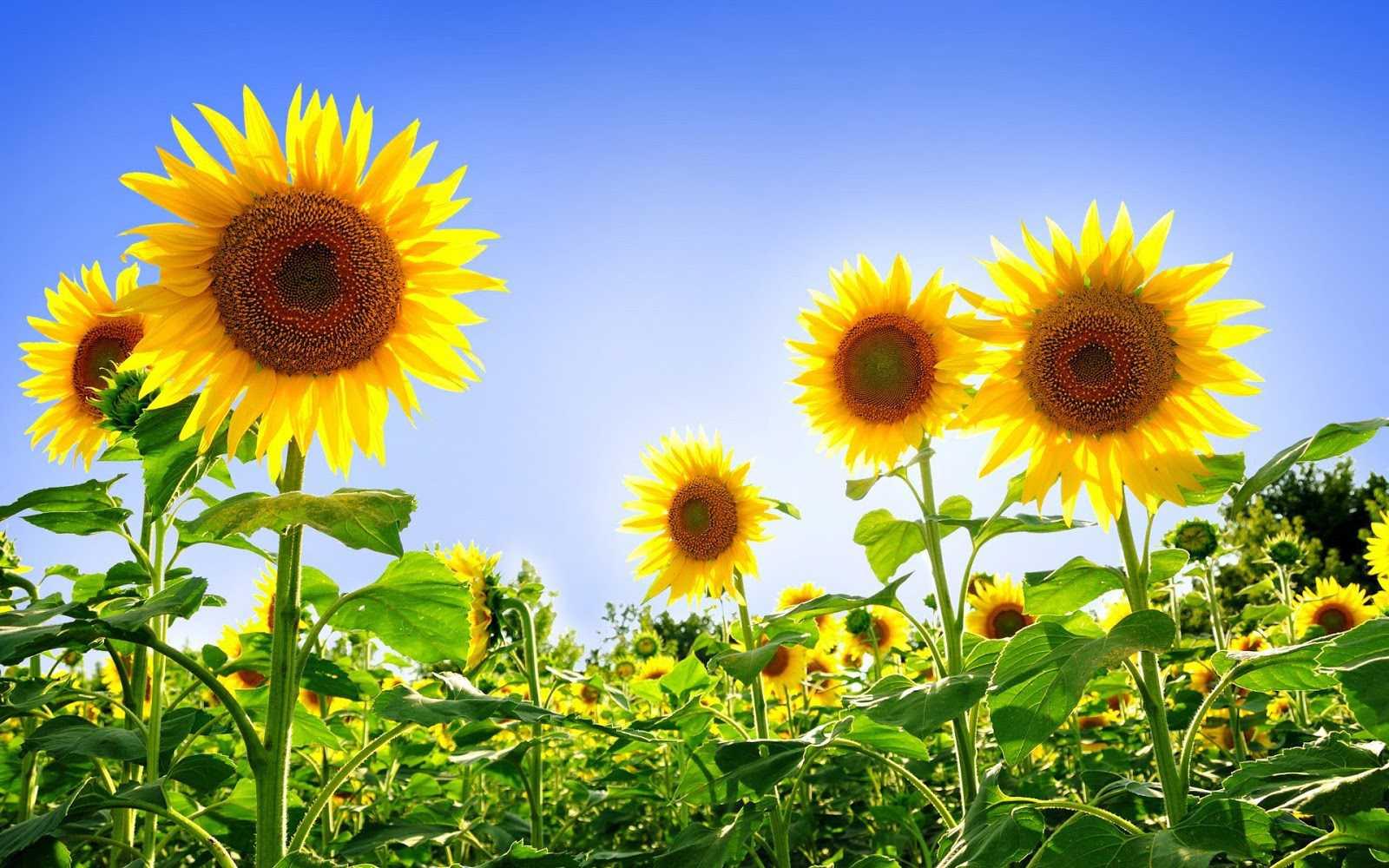hoa tượng trưng cho tình bạn 3