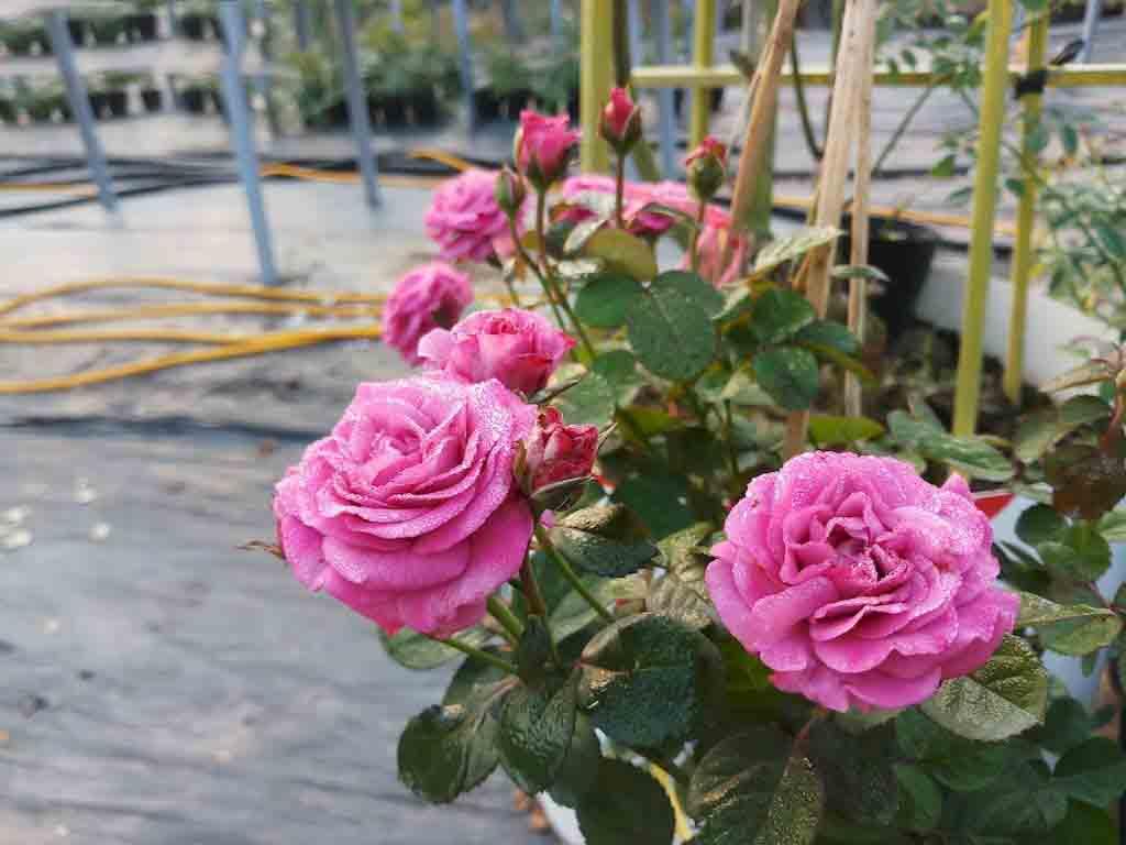 ý nghĩa hoa hồng tím 2