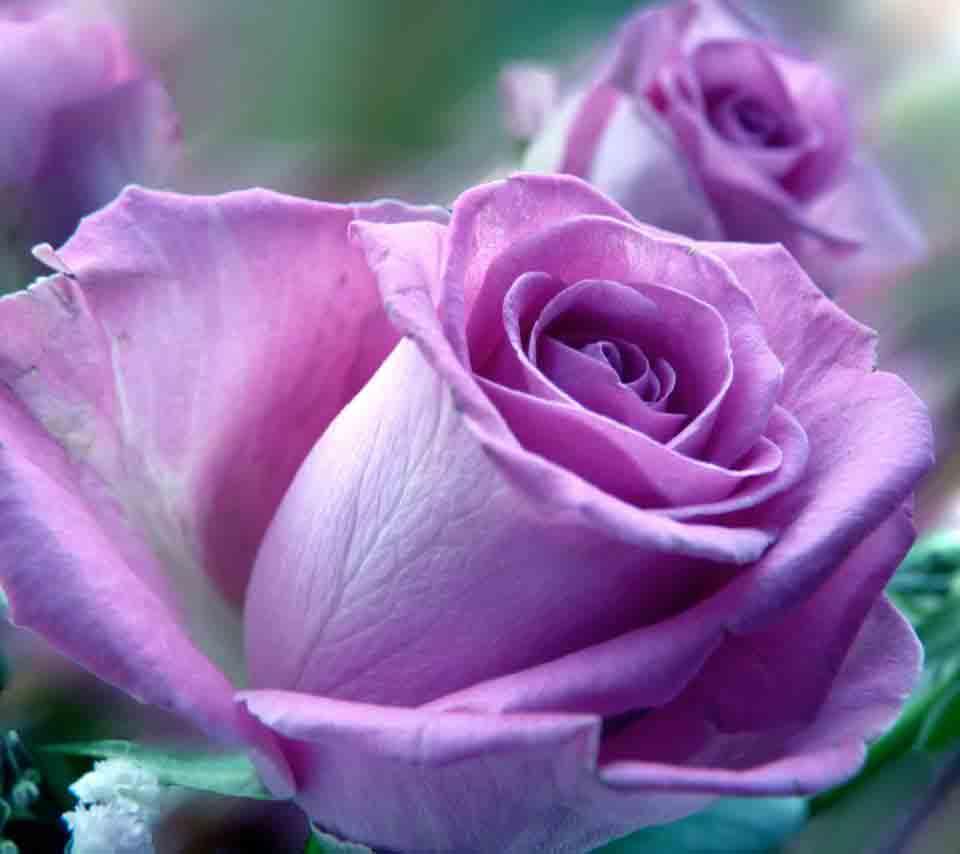 ý nghĩa hoa hồng tím 3
