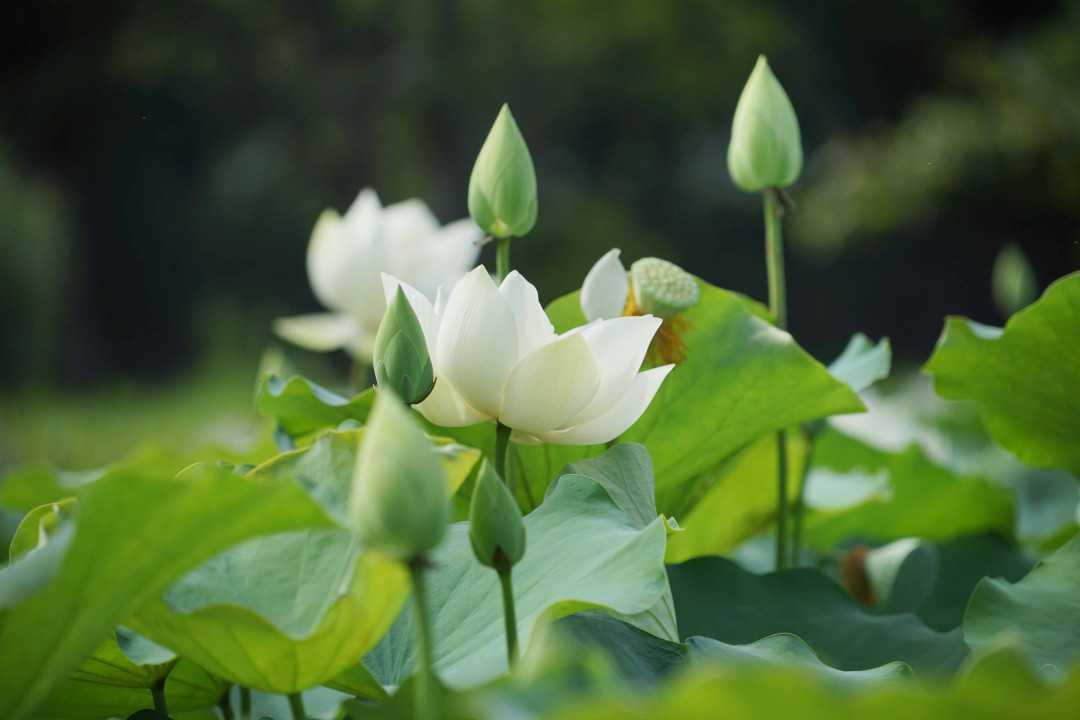 ý nghĩa hoa sen trắng 1