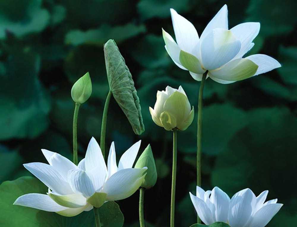 ý nghĩa hoa sen trắng 2