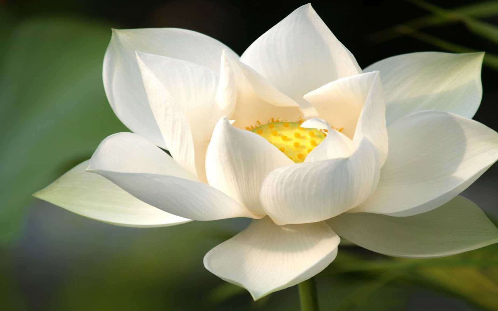 ý nghĩa hoa sen trắng 3