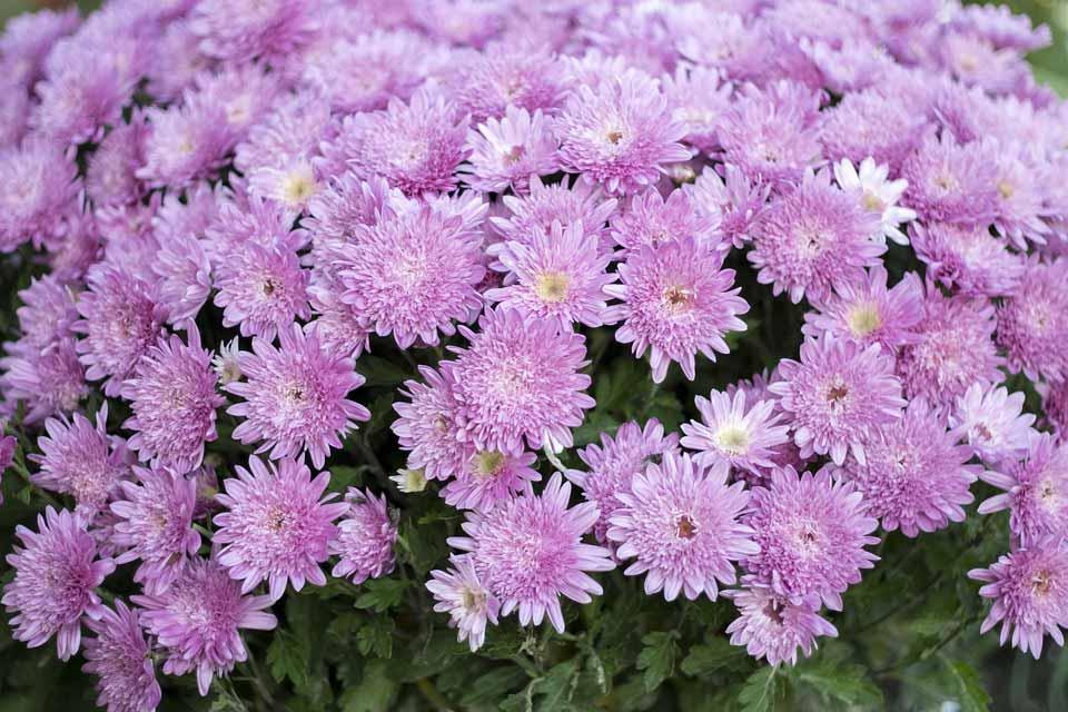 Các Loài Hoa Nở Vào Mùa Thu