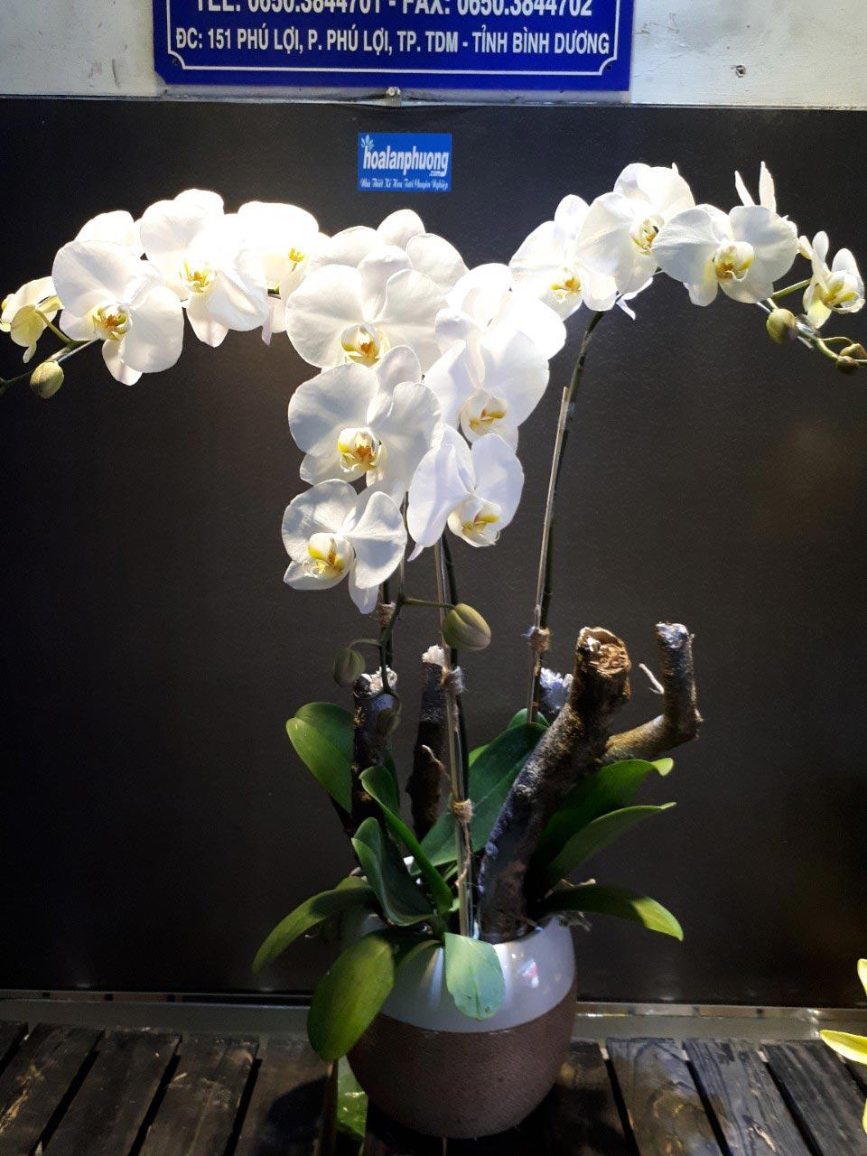 Giá hoa lan hồ điệp trắng