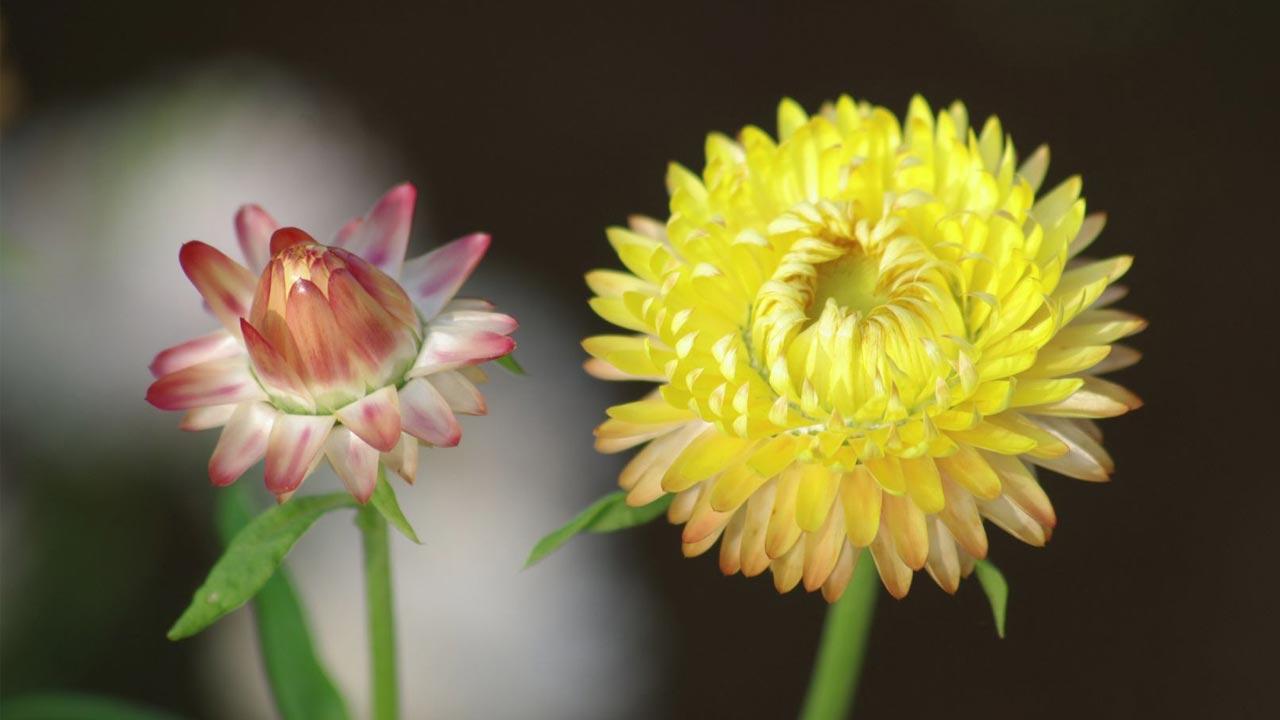 Hoa cúc bất tử đẹp nhất