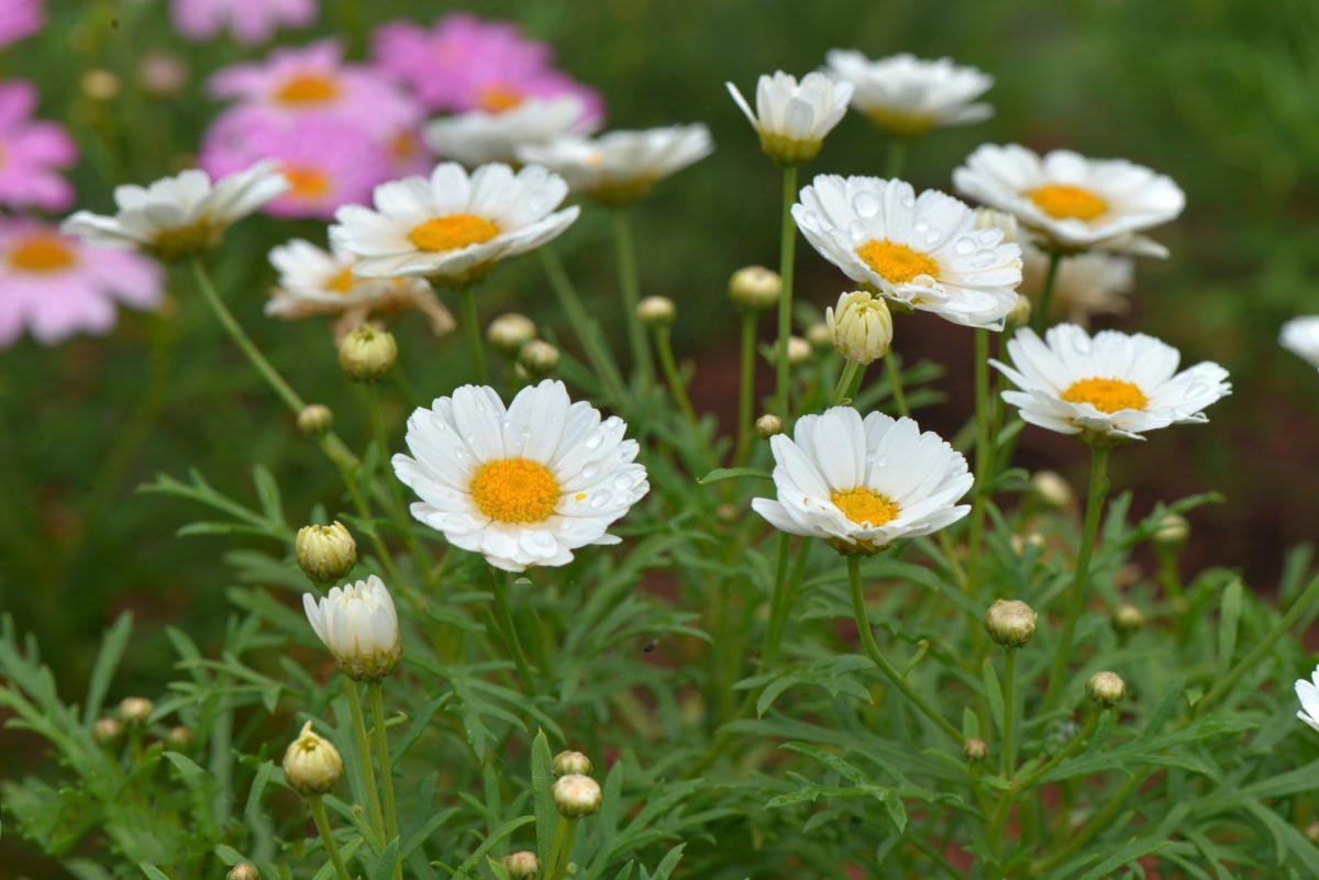 Hoa cúc họa mi đẹp nhất