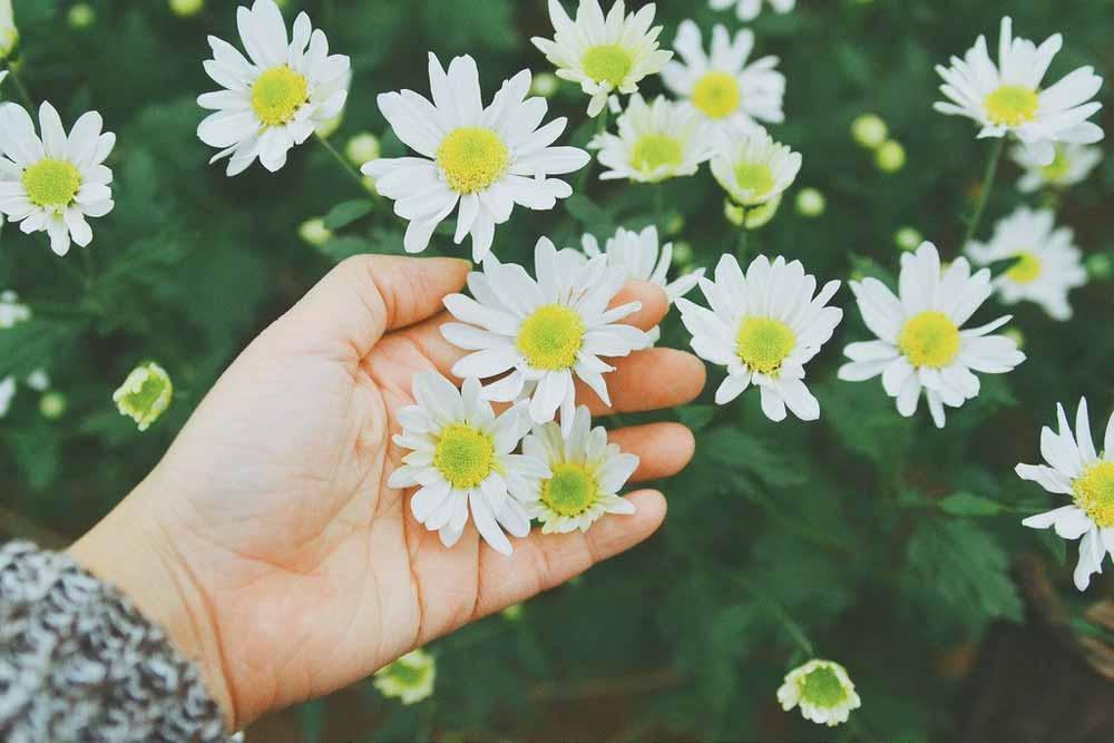 Hoa cúc mùa thu