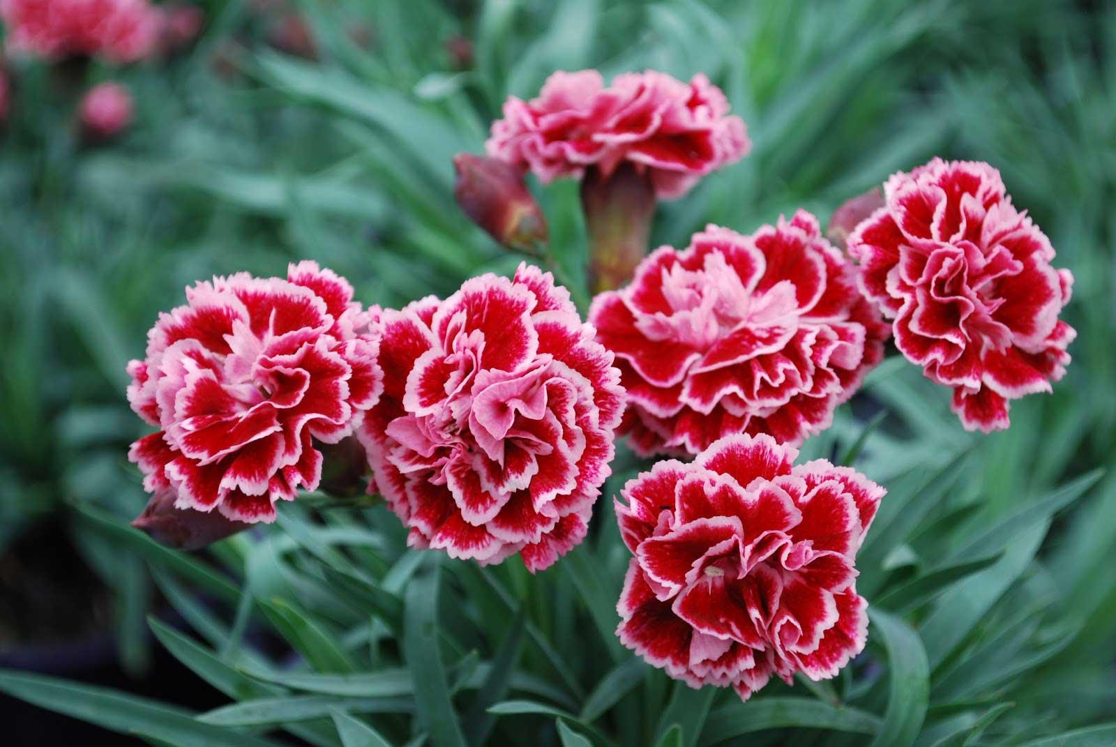 Hoa cẩm chướng tiếng anh