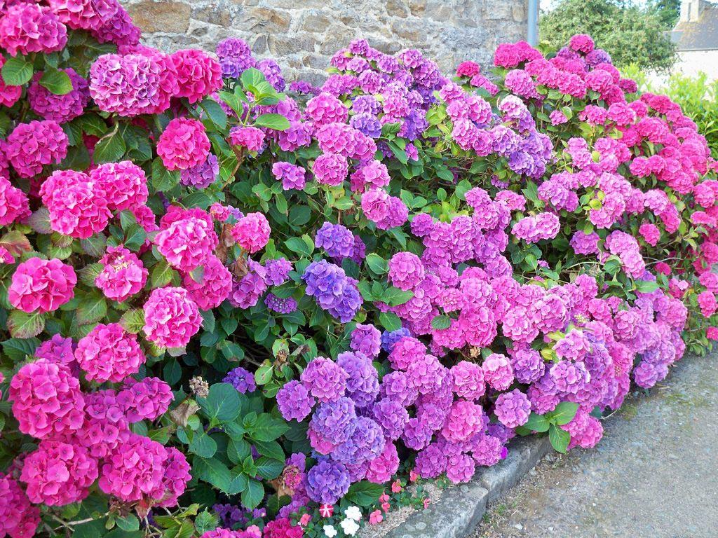 Hoa cẩm tú cầu màu tím tặng sinh nhật