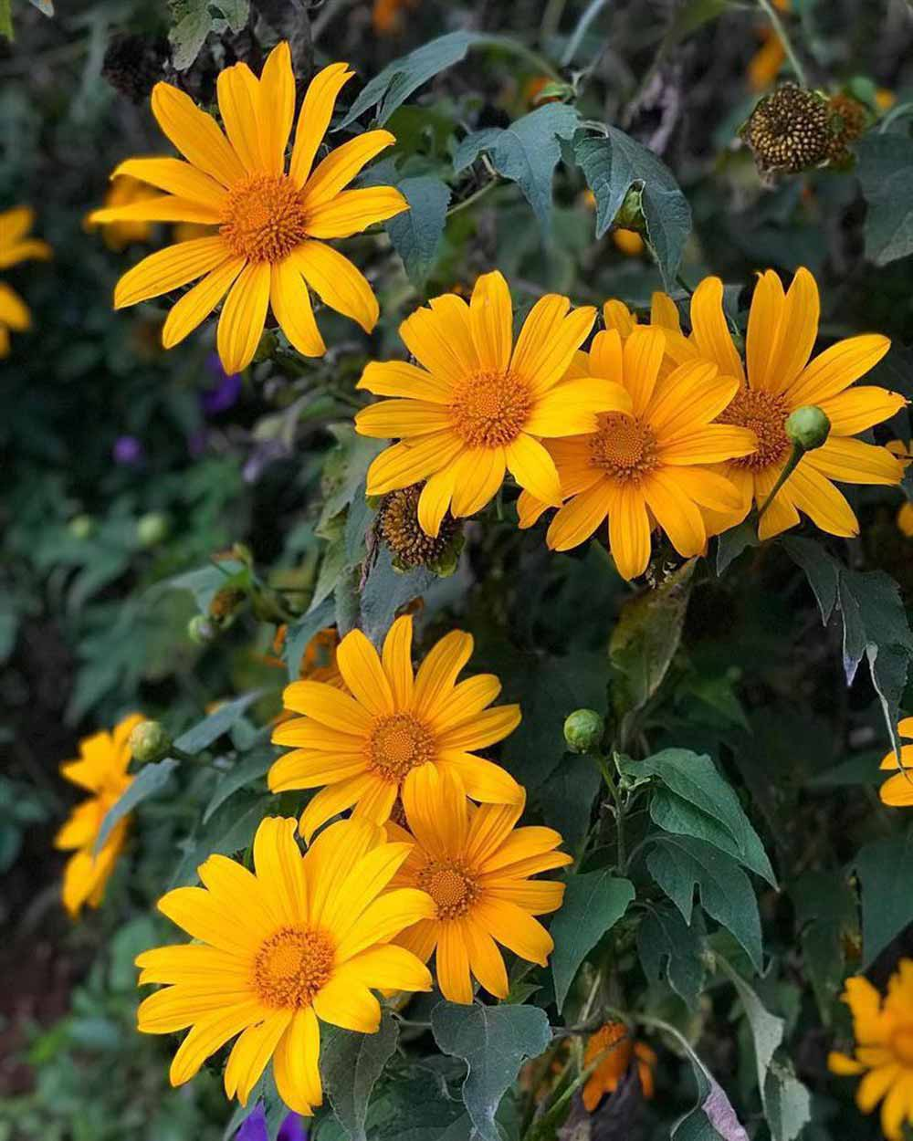 Hoa dã quỳ mùa thu