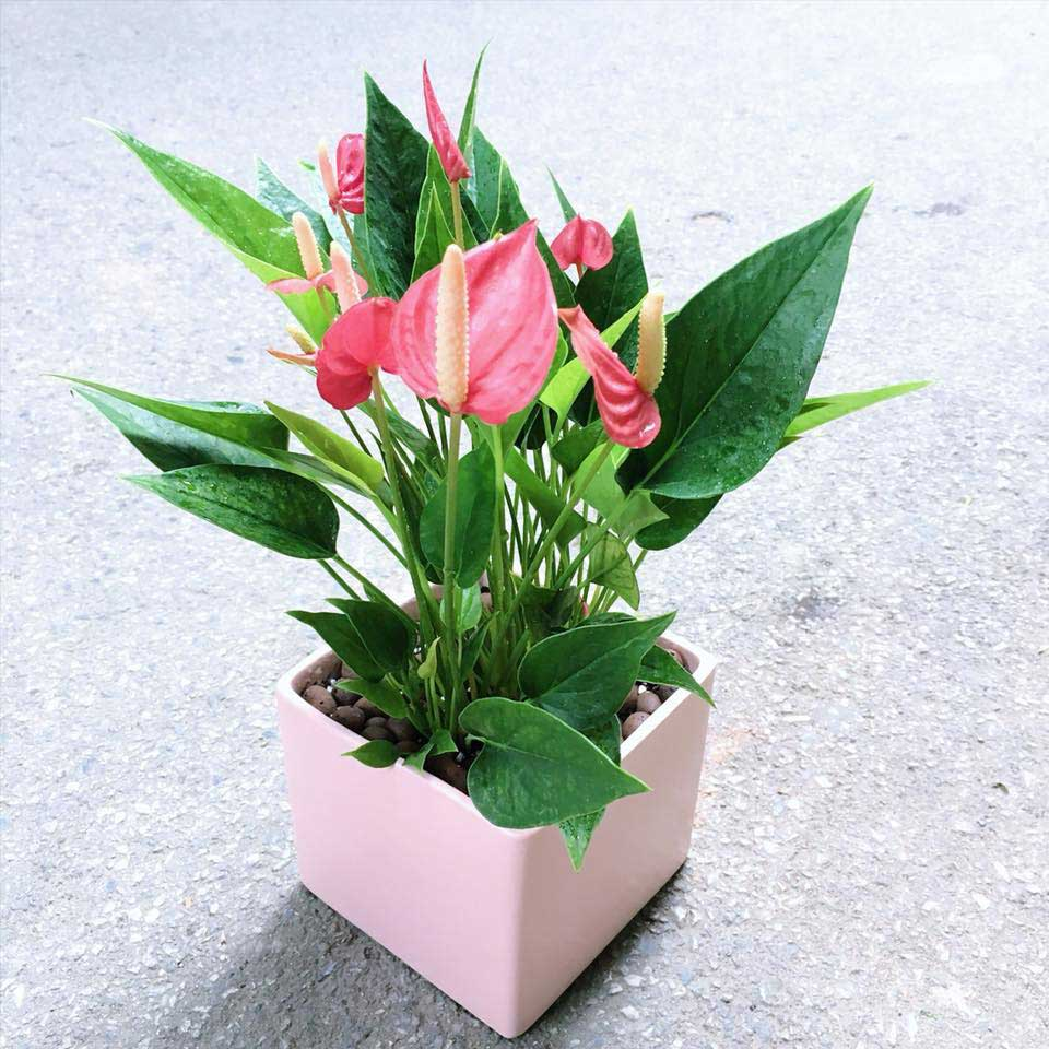 Hoa hồng môn tặng chồng